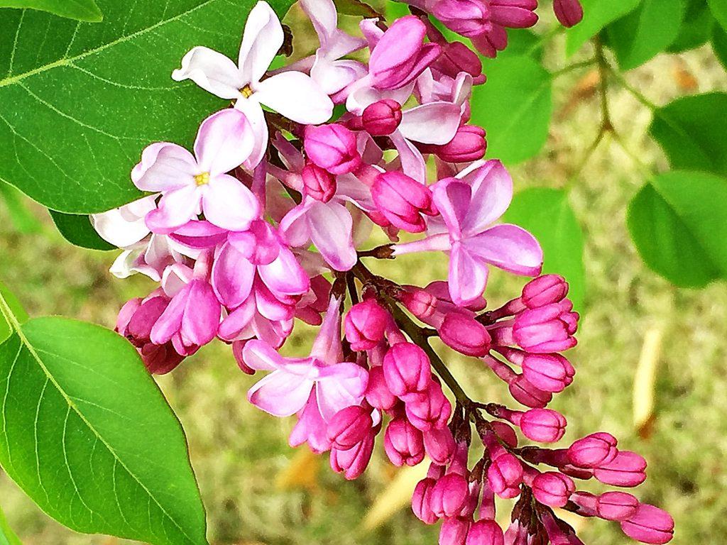 10~20cmの総状の円錐花序を付けるライラックの花