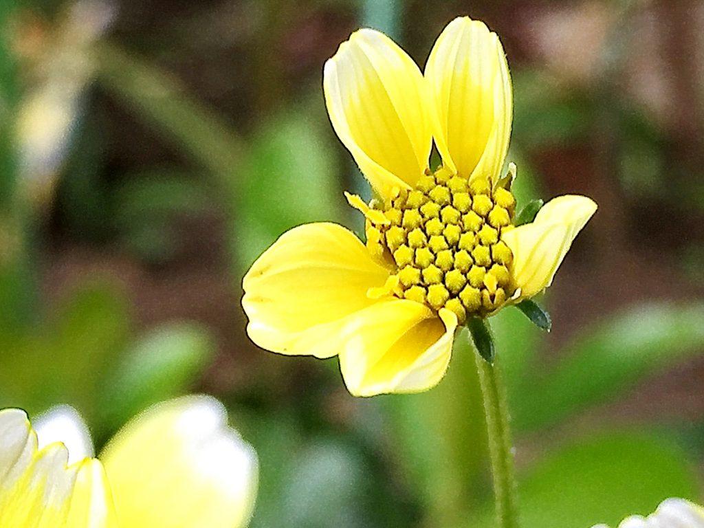 ウインターコスモスの代表的な品種、先端が白い黄色いイエローキューピット