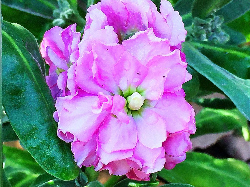 葉の色が濃くピンクの色が生える八重咲ストック