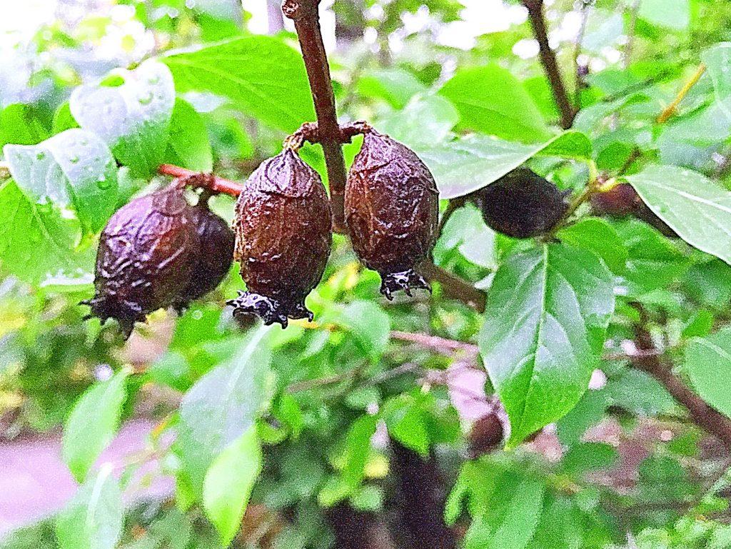 ソシンロウバイ(素心蝋梅)晩秋の果実