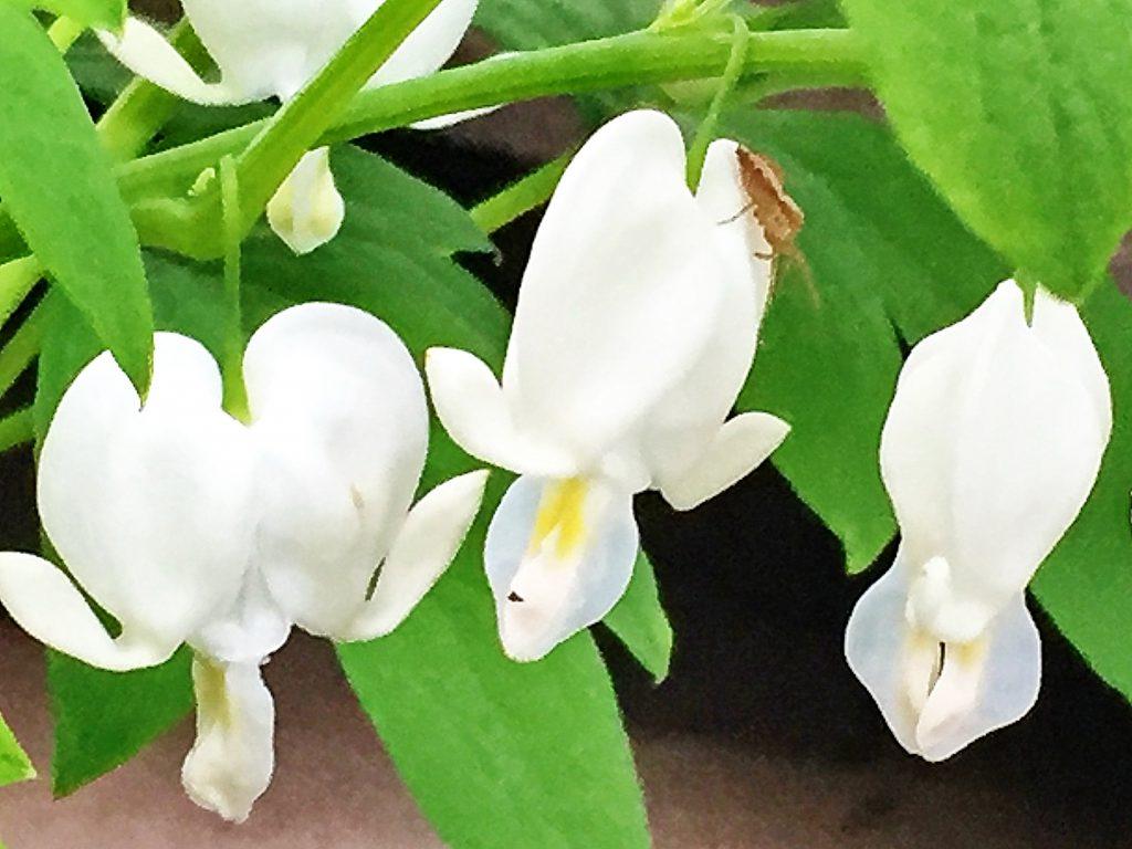 ケマンソウ(鯛釣り草)の花