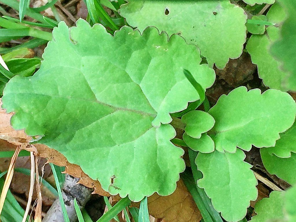 羽状で頂葉が大きく、深く裂けるショカッサイ.の根上葉と下部の葉