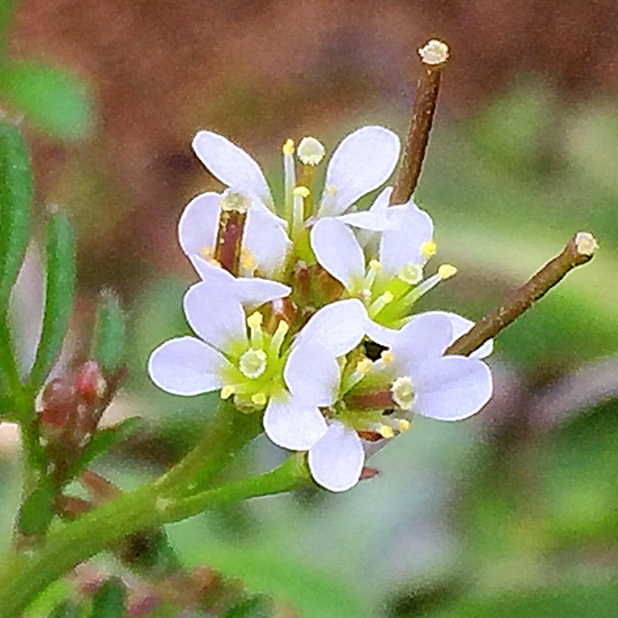 ミチミチタネツケバナ(道種浸け花)