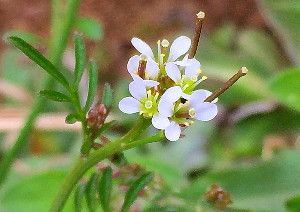ミチタネツケバナ(道種浸け花)の花から長角果が飛び出る
