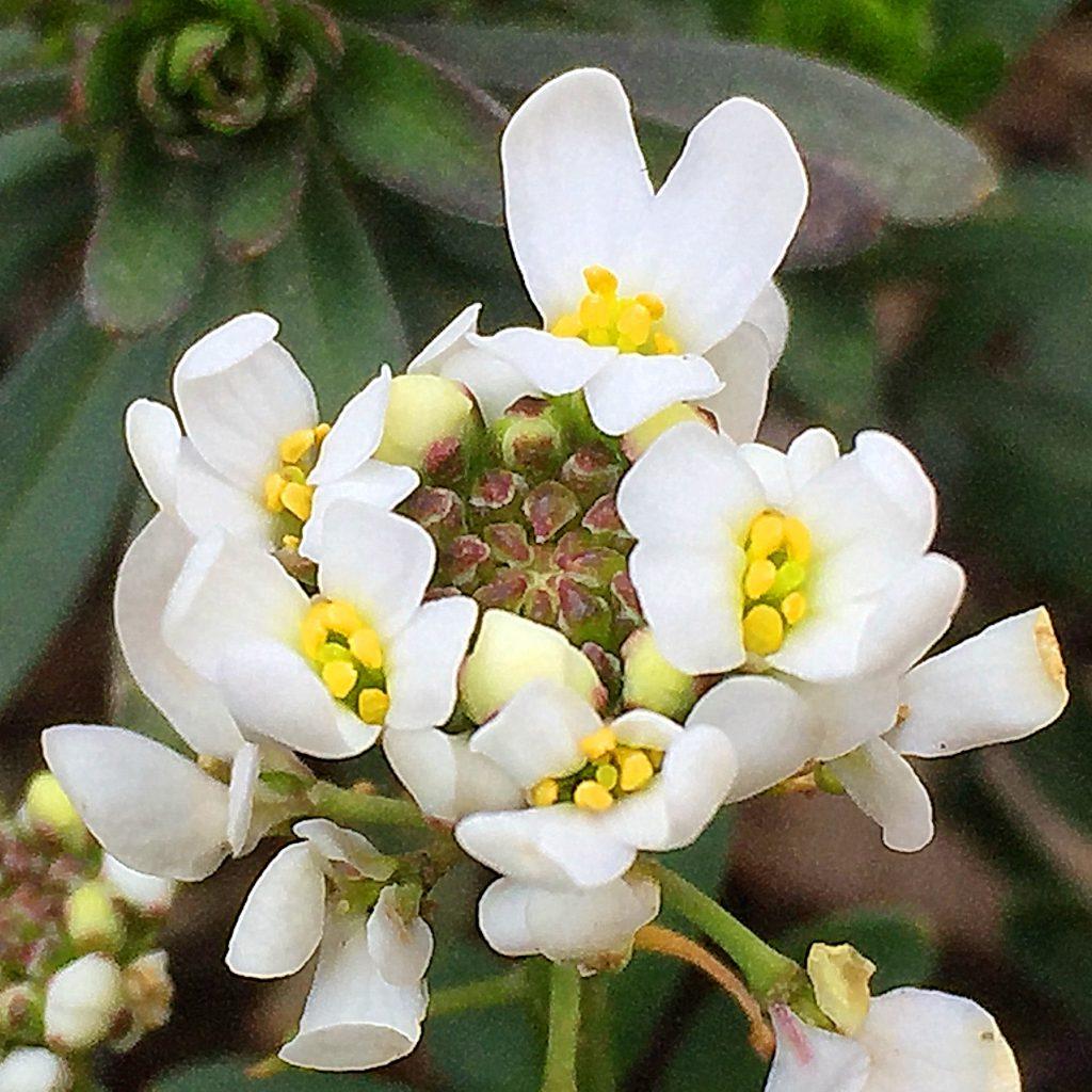 総状花序が外側から開花していくイベリス・センペルヴィレンス