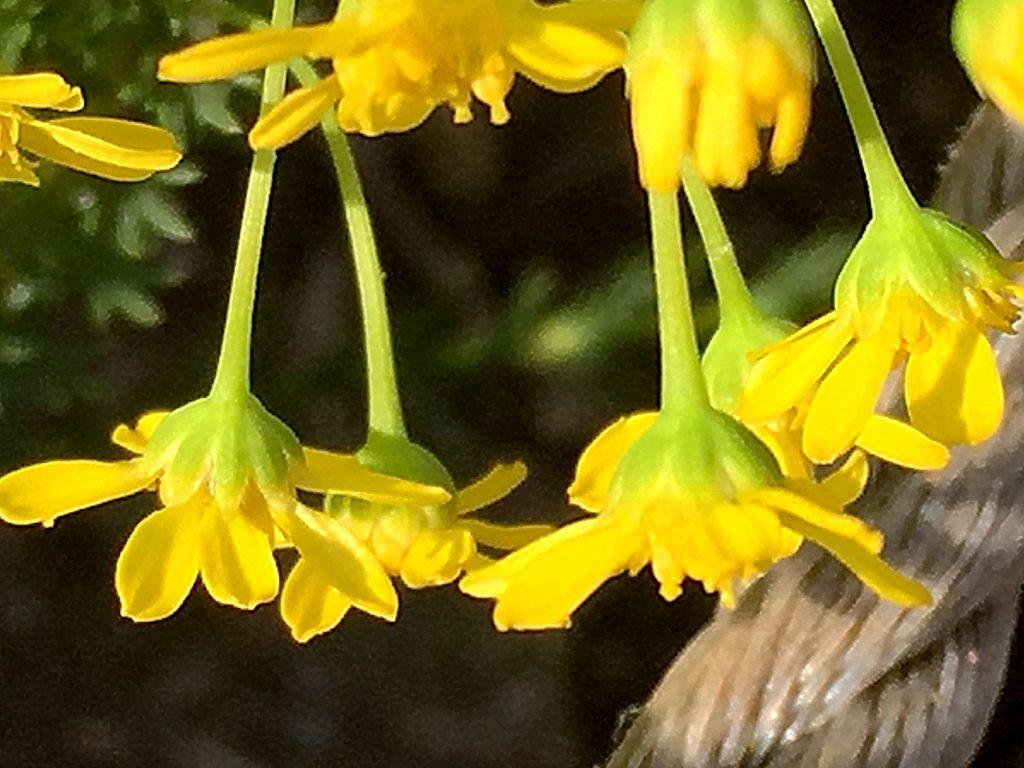 長い花柄の先の黄色いゴールデンクラッカー