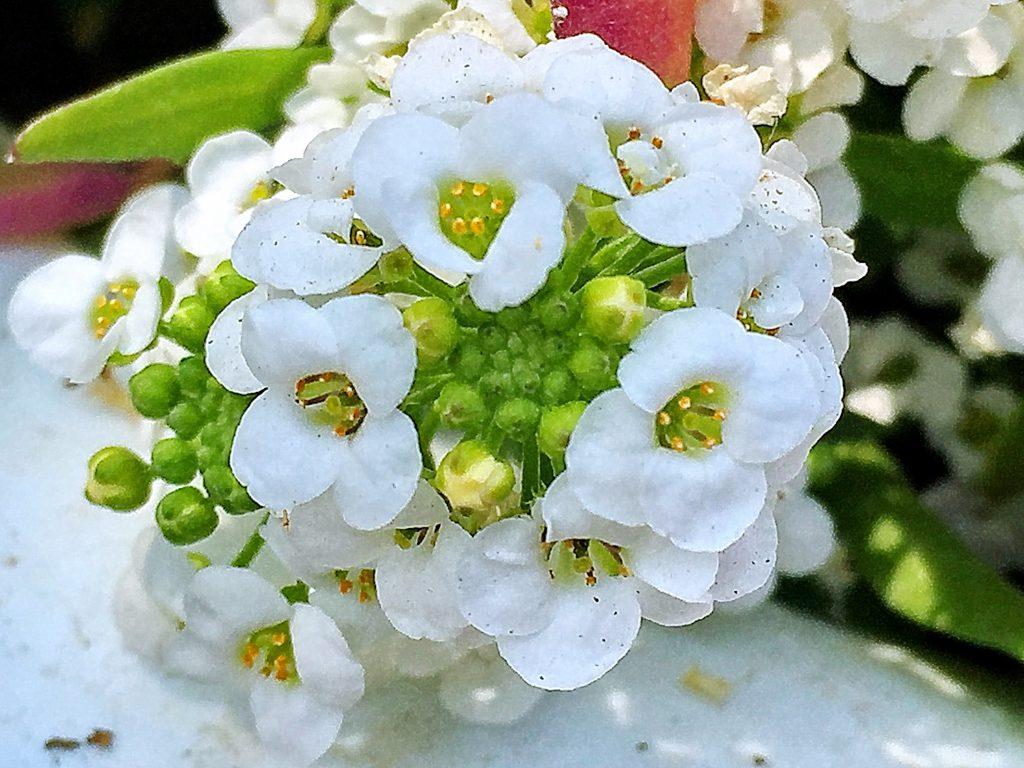 手毬のようないい香りがするスウィートアリッサムの花