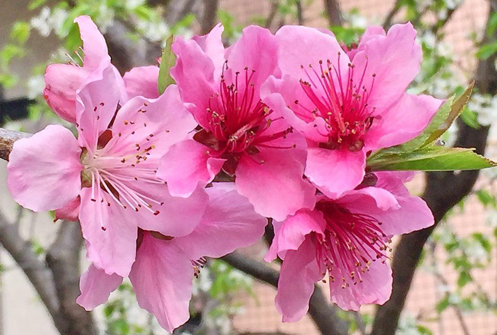 美味しいモモ(白鳳)の花