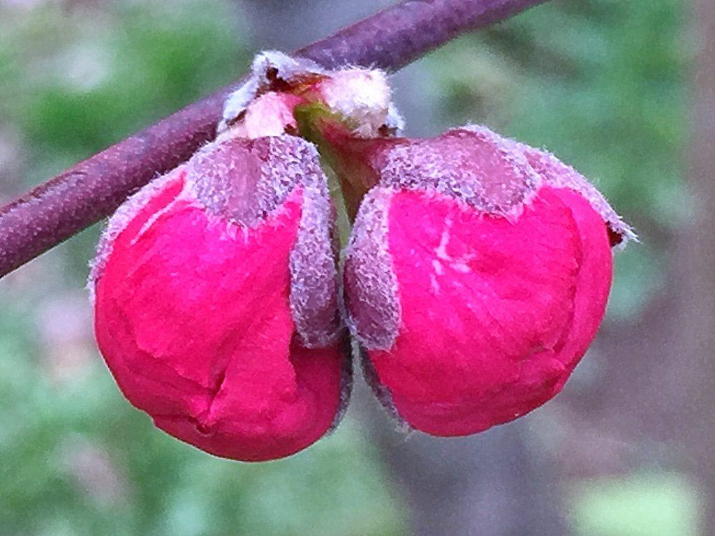 紅色のハナモモ(源平枝垂れ)の蕾