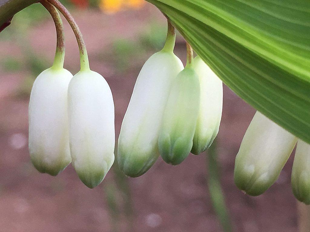 アマドコロの2個づつ並んだ筒状花