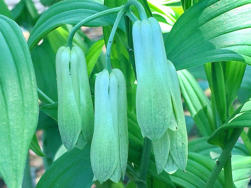 イヌサフラン科のホウチャクソウの花