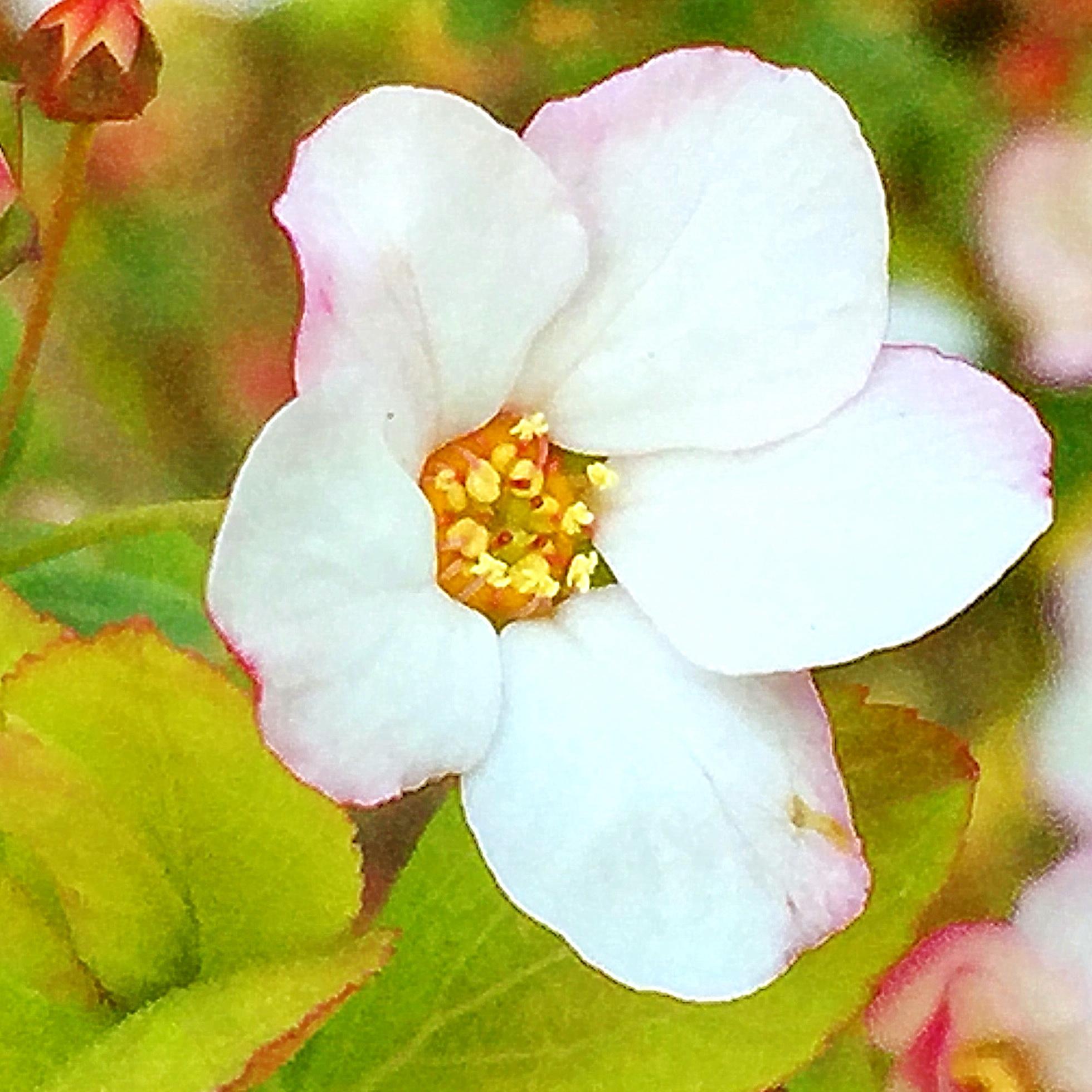 ユキヤナギピンクの花