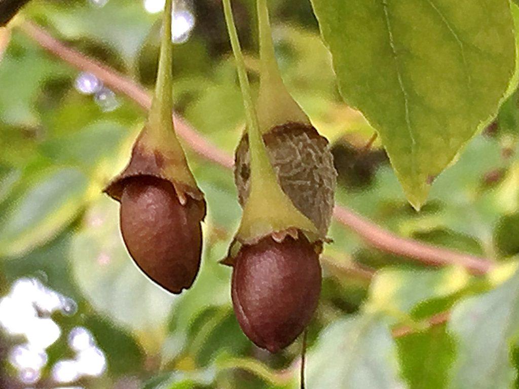 果皮が剥がれ落ちたエゴノキの種