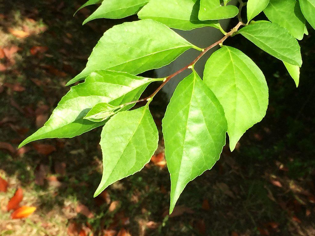 ジグザグに曲がり水平に張り出すエゴノキの葉