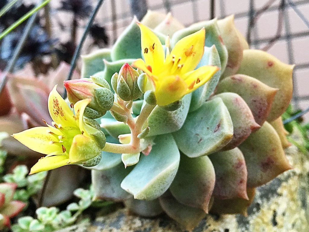 グラプトベリアの黄色い花と先端がピンクの蕾