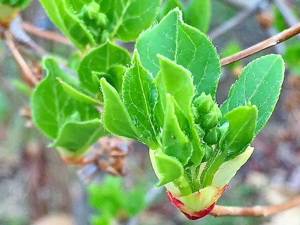 白い毛が散するサラサドウダンの葉