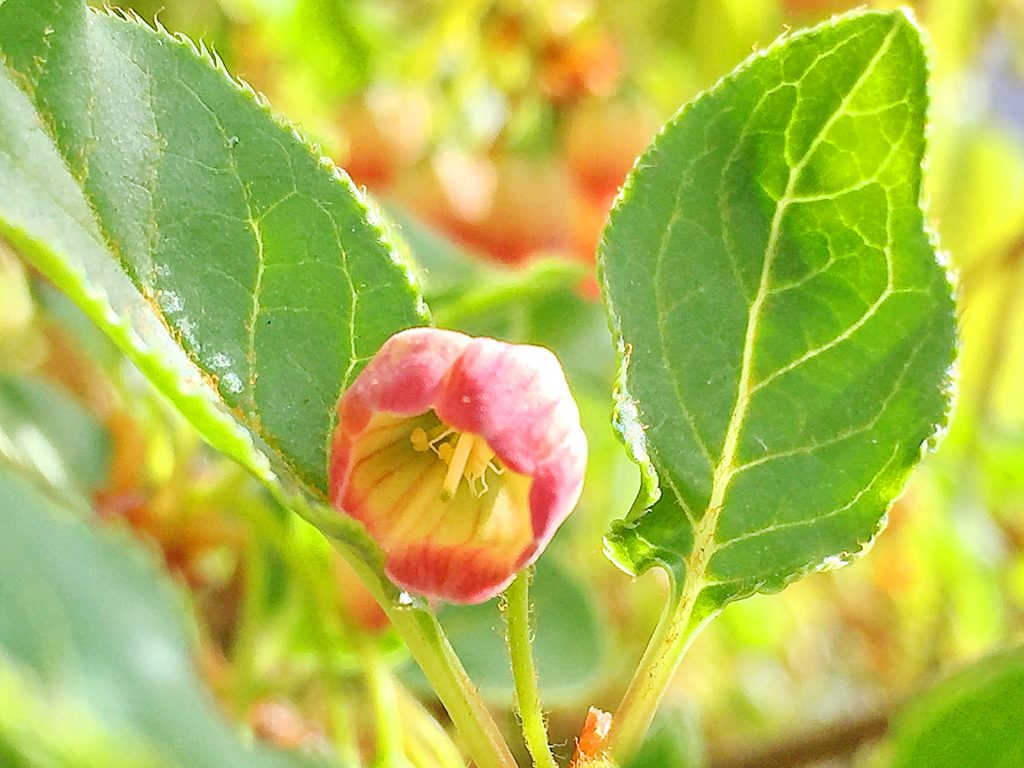 倒卵形の葉、先端は輪生状に付くサラサドウダンの葉