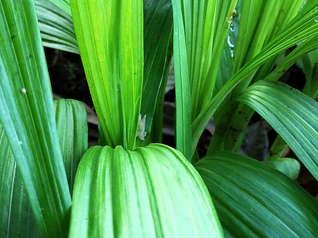 シランの幅の広い長楕円形の葉には硬く縦の筋が並ぶ