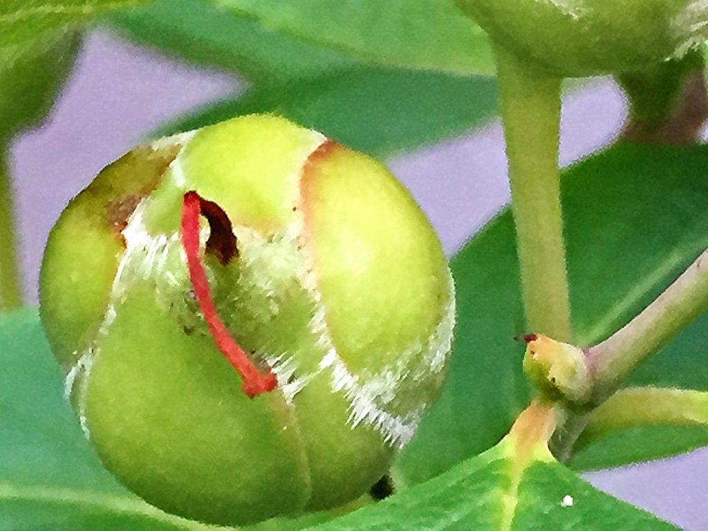 まだ若いヒメシャラの果実