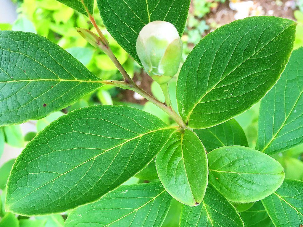 長楕円形のヒメシャラの葉