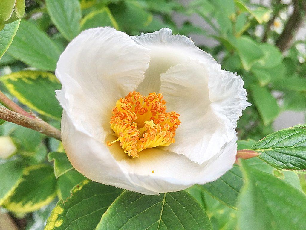 繊細な花弁が重なる姫者らの花