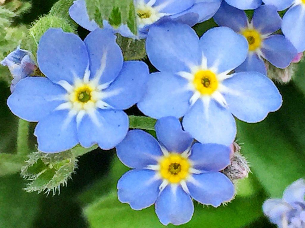 サソリ型花序のワスレナグサ(勿忘草)
