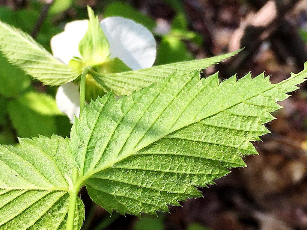 絹毛が密集したシロヤマブキの葉裏