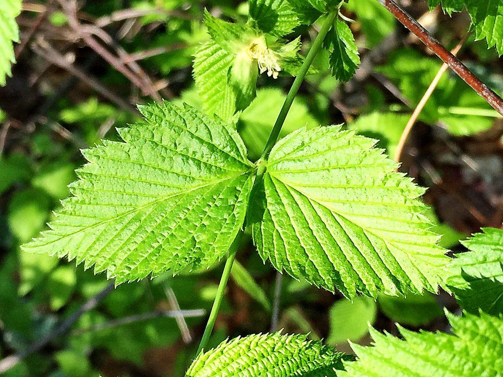 シロヤマブキの葉脈が凹んだ葉