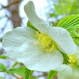シロヤマブキ(白山吹)の花