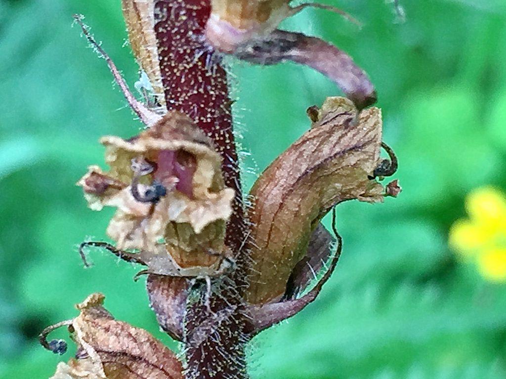 ヤセウツボ(痩靫)の蒴果