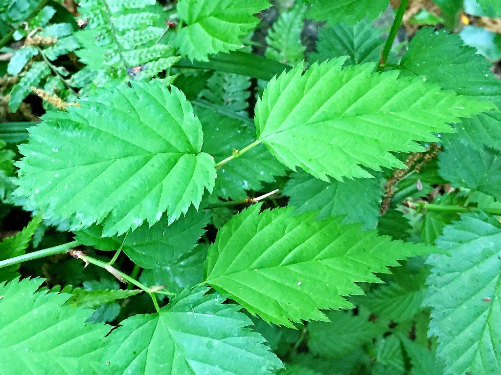 ヤマブキの倒卵形の葉