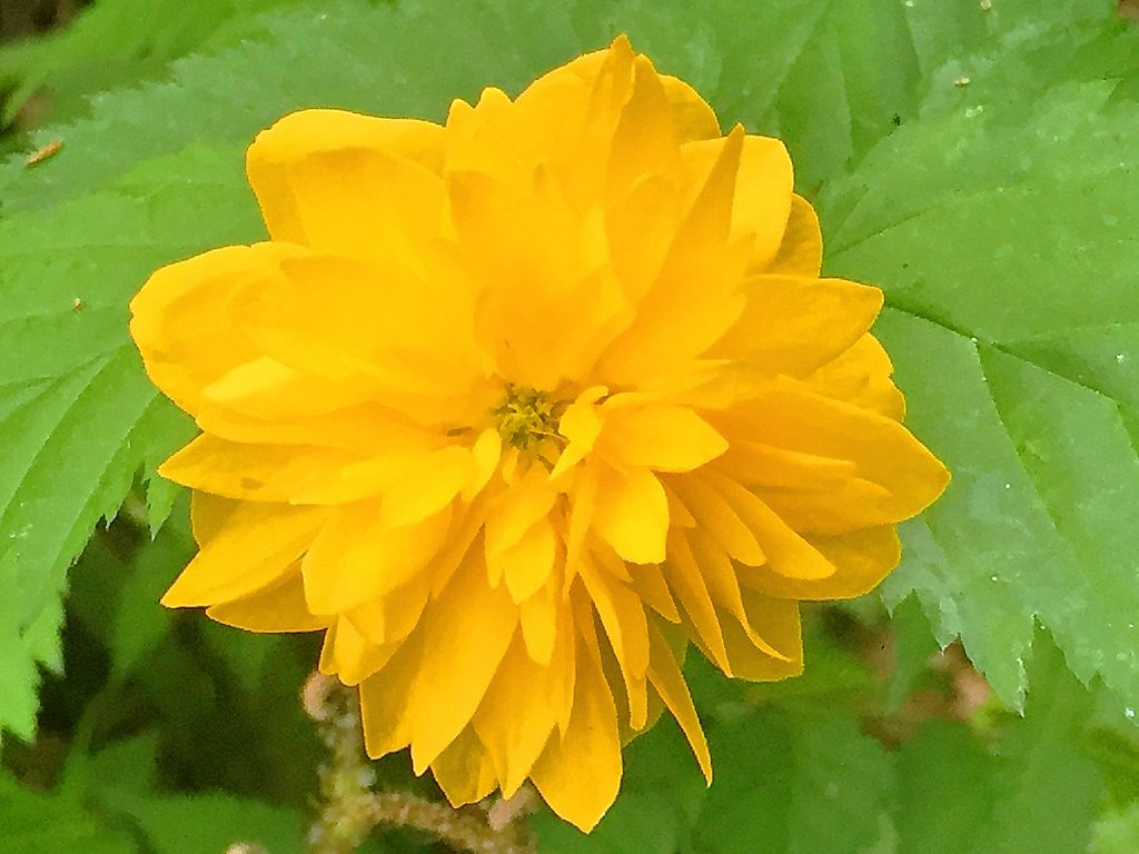 八重のヤマブキの花