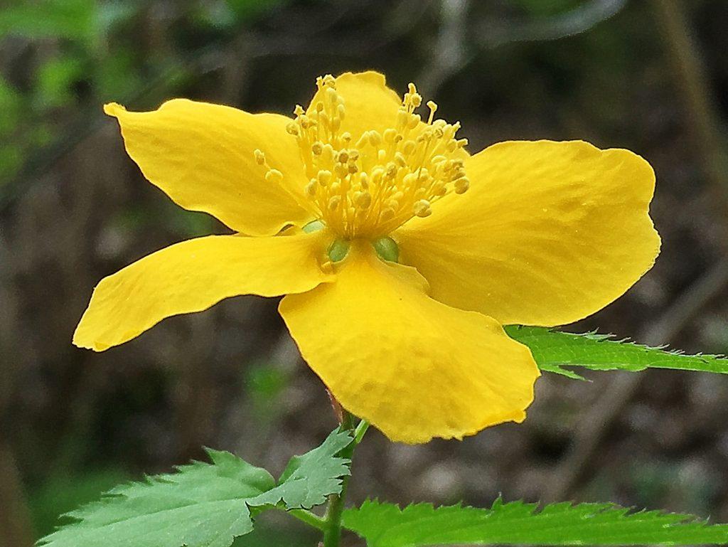 バラ科ヤマブキ属、鮮やか黄色いヤマブキの花