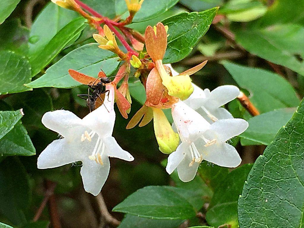 アベリア(花衝羽根空木)グランディフローラ