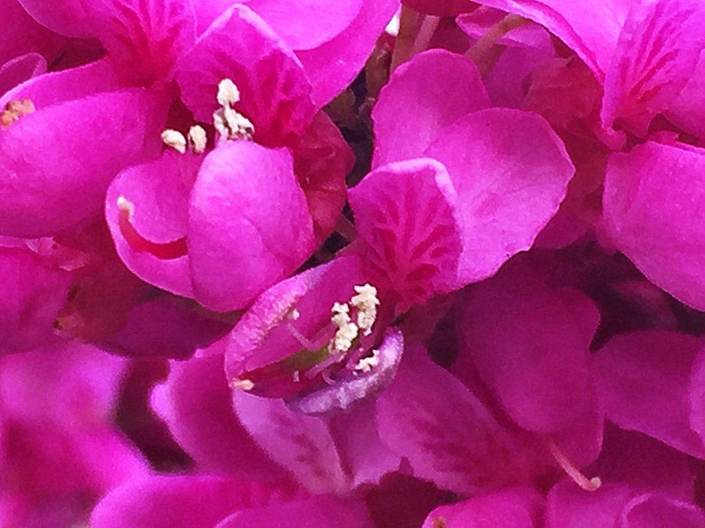 ハナズオウの紅色の蝶形花