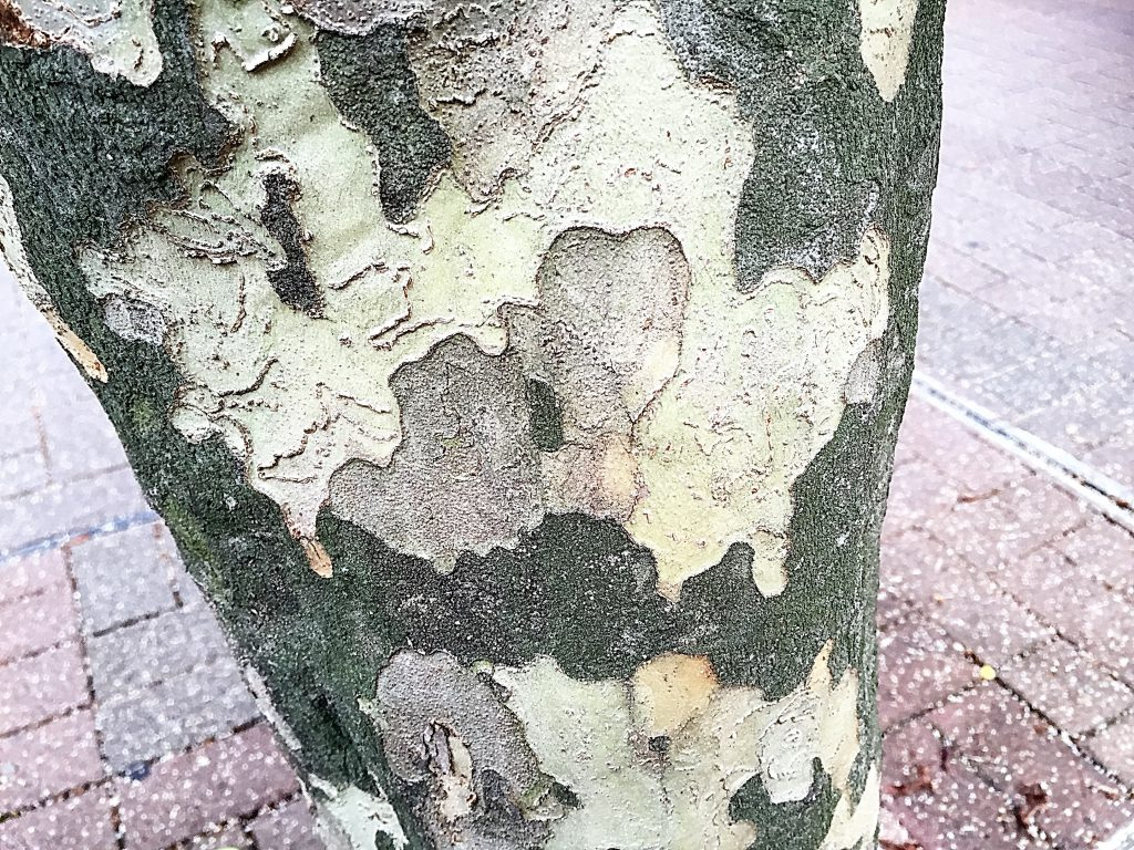 街路樹のシマトネリコ(島十練子)の立派な幹