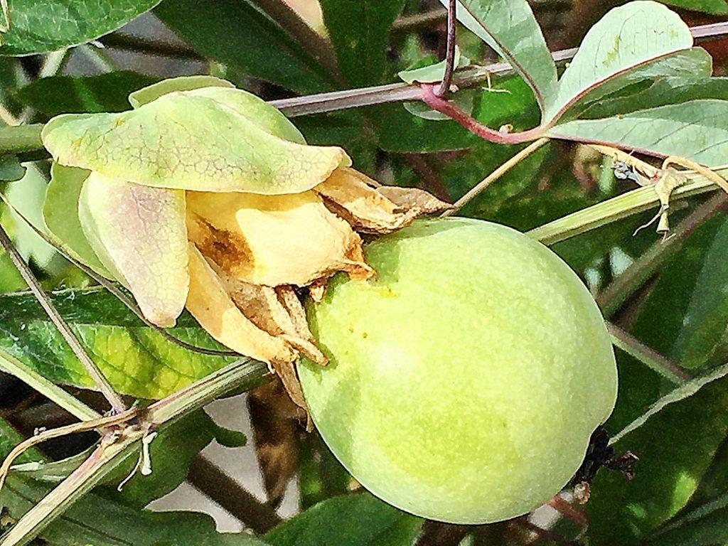 トケイソウの果実