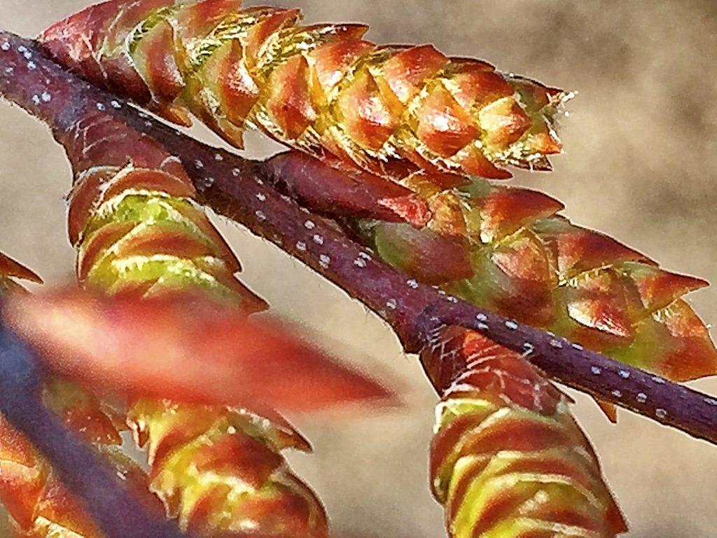 イヌシデの淡赤褐色の枝には円い白い皮目があり雄花序が付いています