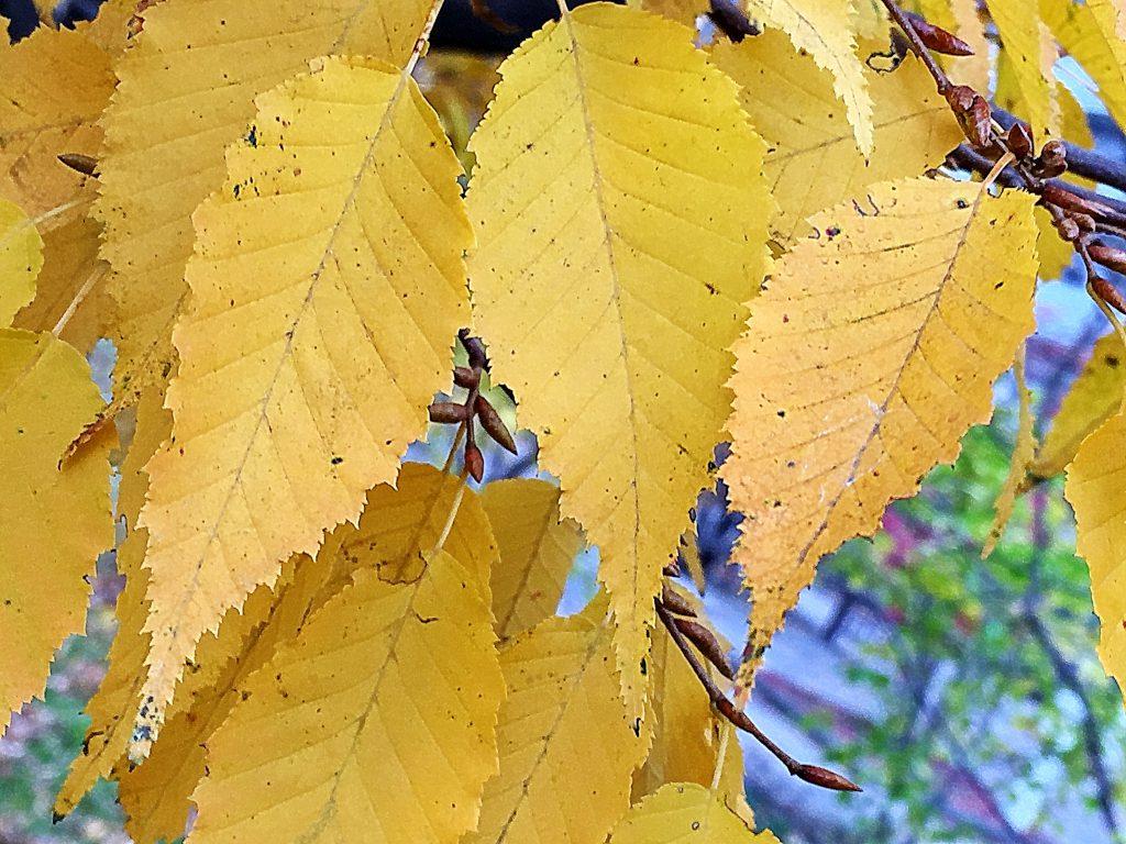 イヌシデの黄葉