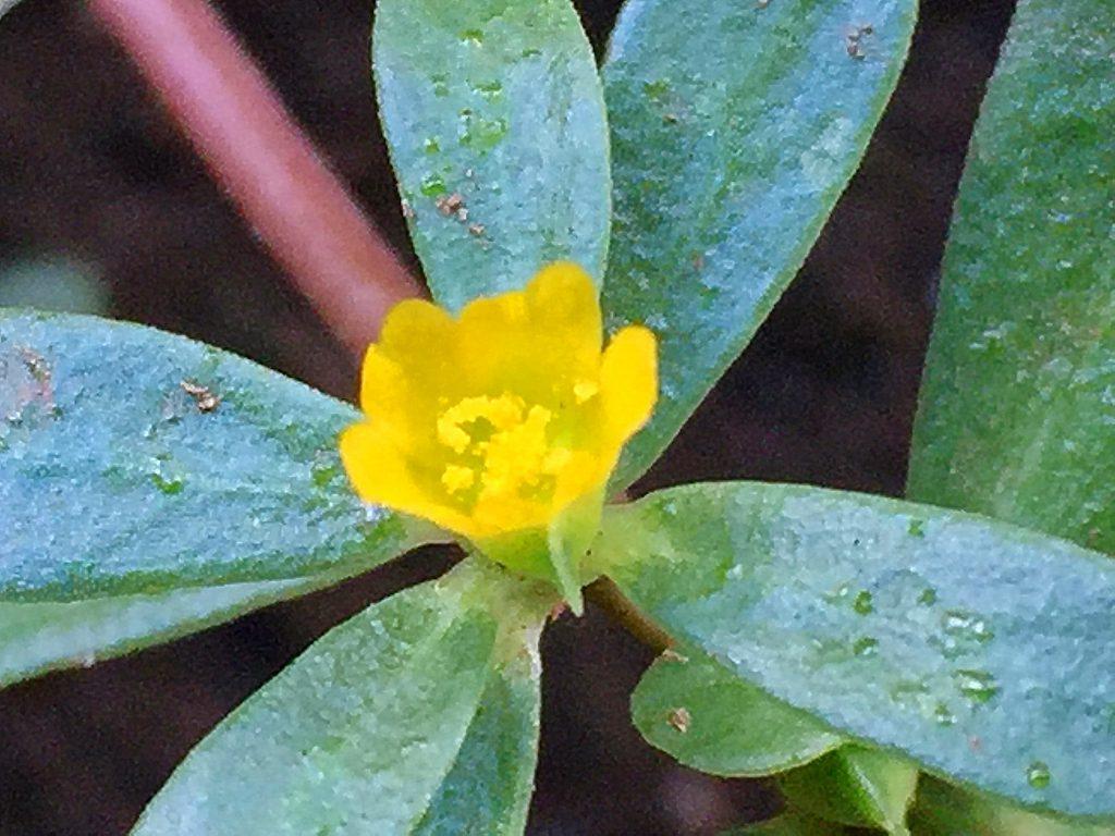 スベリヒユの花。軍配型の5枚の花弁、雌しべの先は5裂しています