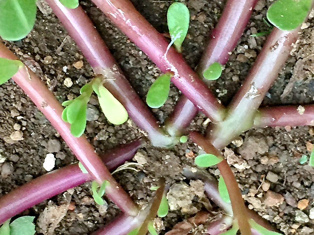 スベリヒユの赤紫色の茎は良く分岐して地を這うように広がっていく