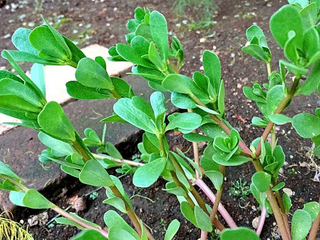 スベリヒユの葉は先が少し凹んだへら状で光沢がある