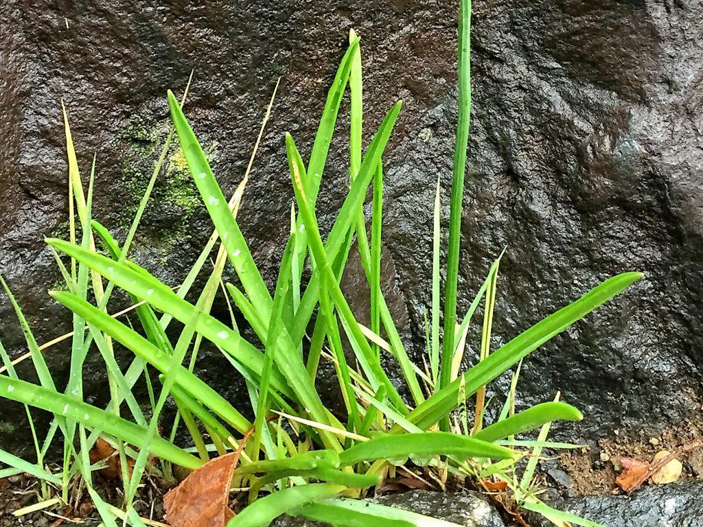 厚みのある線形のツルボの根生葉