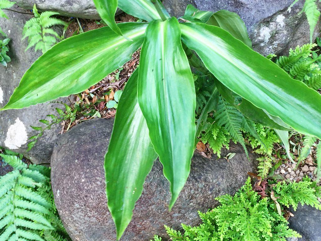 ミョウガの葉に似ていることがヤブミョウガの名の由来