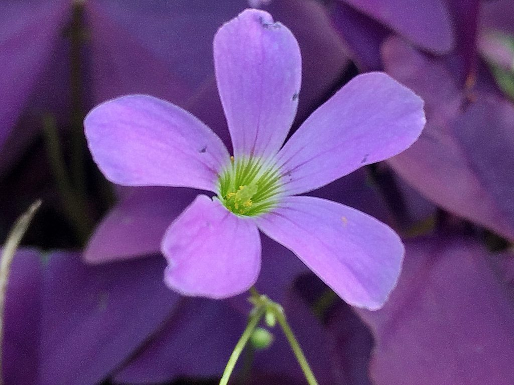 濃紫色の葉にピンクの花を付けるオキザリス・トリアングラリス