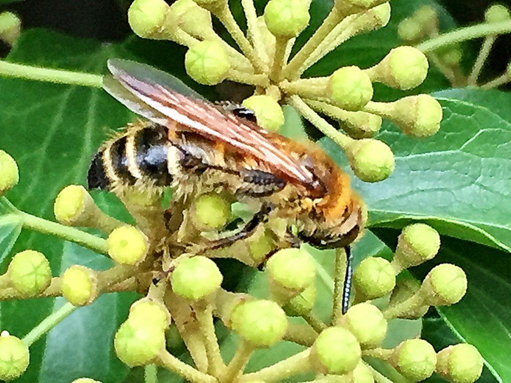 キヅタに来たヒメハラナガツチバチ