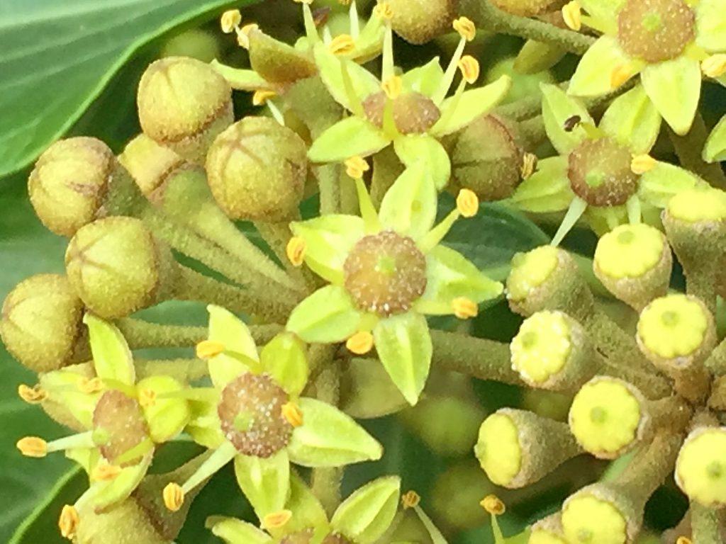 左からキヅタの蕾、雄性期の花、雌性期の花