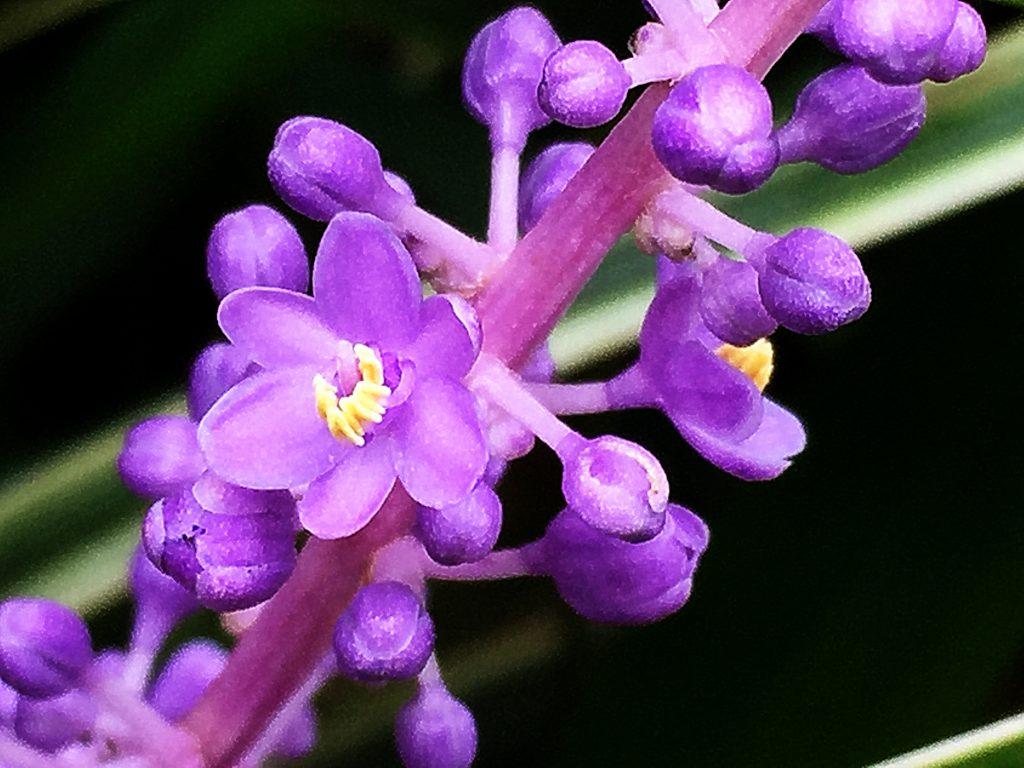 淡紫色の花が束生するヤブラン