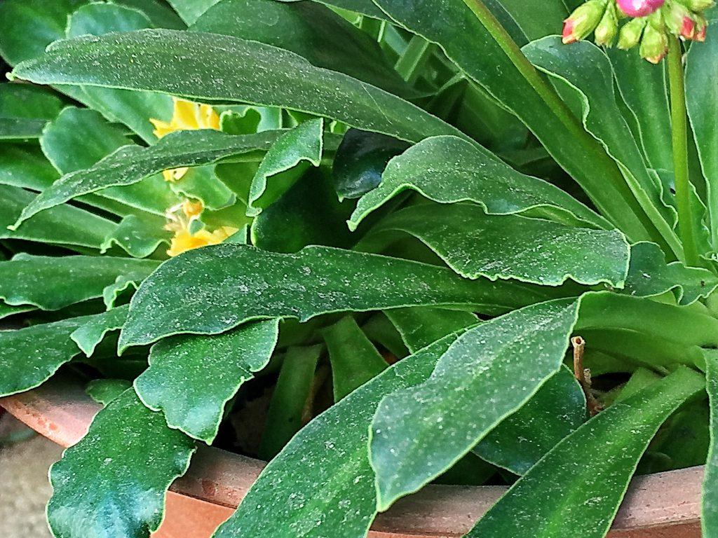 レヴィシアの多肉質な葉