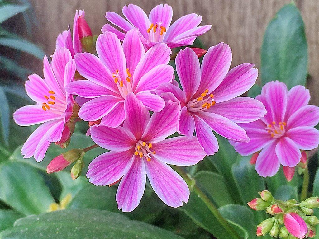 レヴィシアの花